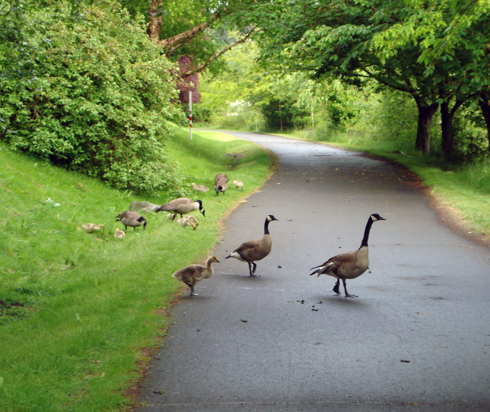 Geese on the Green River Trail